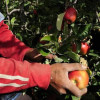 fruit picking rnz