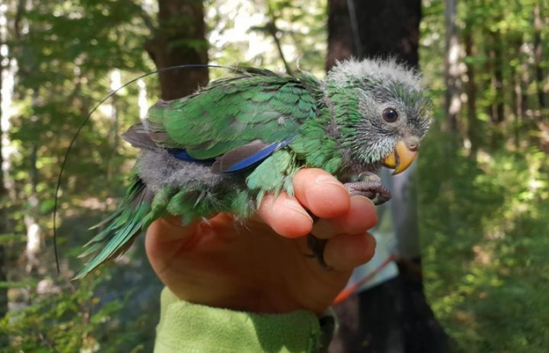 eight_col_thumbnail_orange-fronted_parakeet_chick_with_transmitter__DOC